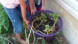 Growing Potatoes in a LaundryBasket